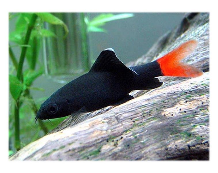 Рыбка петушок беременная фото 6